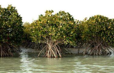 "Mangrove ""Hara"" Forests of Iran's Qeshm Island"